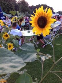 Sonnenblumenbeet